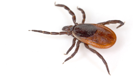 Yale Scientist Discovers New Tick-Borne Disease